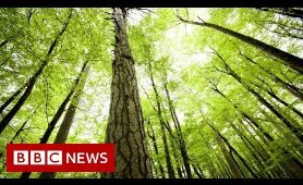 What's wrong with planting new forests? - BBC News