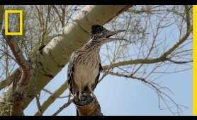 Snake vs. Roadrunner Face-off | National Geographic
