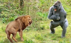 Craziest Animals Fights   Classic fight Lion , gorilla attack - Lion Video National Geographic
