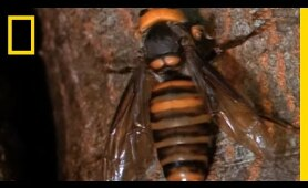Hornets from Hell | National Geographic