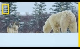 Wolf Pack Takes on a Polar Bear - Ep. 1   Wildlife: The Big Freeze
